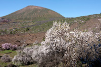 Almonds in flower